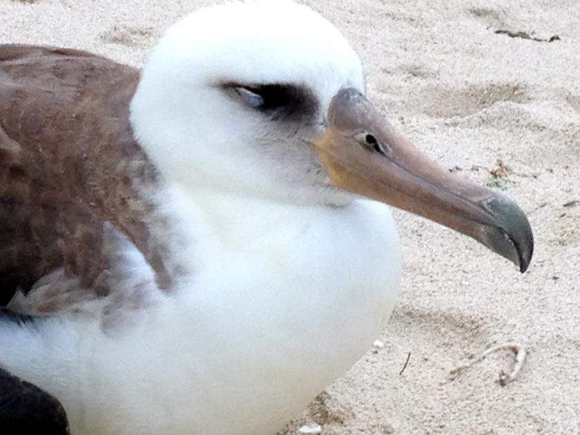 Albatross 1.jpg